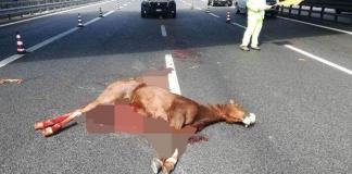 Cavallo morto in Autostrada, foto Il Fatto Vesuviano